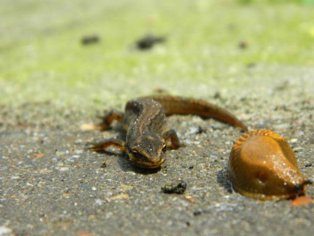 salamander of hagedis