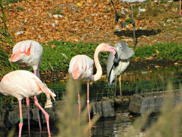 flamingo-en-reiger