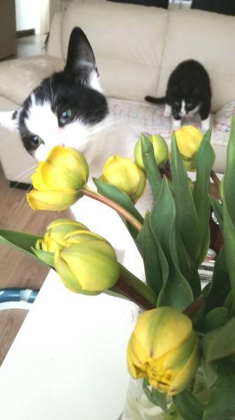 ruiken aan de pioen tulpen
